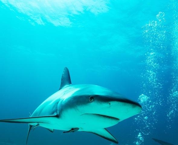 Haaien met gevaarlijk hoge niveaus van zware metalen in het Caribisch gebied gevonden